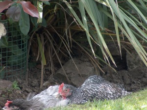 Keeping cool with a dust bath!